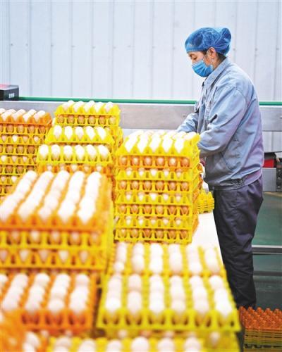 蛋鸡养殖南下已成趋势 行业规模化程度提升